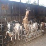 goats wanting treats