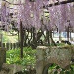 Japanese wisteria of Kurogi