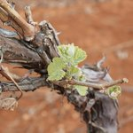 2013 Spring Bud - Syrah (Flying Leap Vineyards)