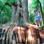 Cypress Tress