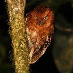 Santa Marta Screech Owl Megascops gilesi sp. nov.