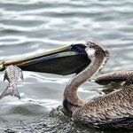 Pelican finding a meal