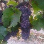 Grapes:)