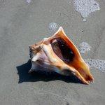 Conch, Cumberland Island Beach