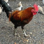 Roosters - gotta luv em'