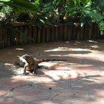 Chonchita, the iguana.