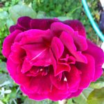 One of the many roses on our breakfast terrace