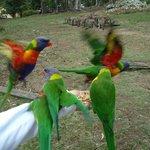 Birds while the kangaroo mob eats