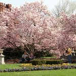 Magnolia Trees in the Enid A. Haupt Garden, Washington, D.C.