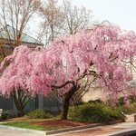 Cherry Blossoms in the Moongate Garden, Washington, D.C.