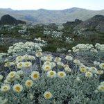 Alpine Sunray Daisies near the Summit of Mt Kosciuszko Australia