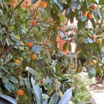 Kumquat bush in the lovely courtyard at Soniat House