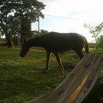 el caballo matutino , se le puede dar de comer desde tu mano
