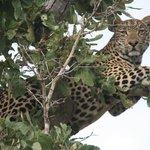 Maître léopard sur un arbre perché...