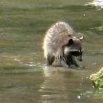 Raccoon foraging on Dunsmuir Island