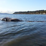 Fin Whale Stranding