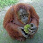 Eating durian. mmmmmm