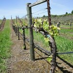 Early vines 2013