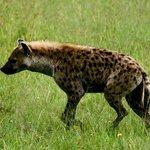 Hyena in the Masai Mara