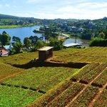 Organic farms below Villa Acacia