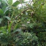 pomelo tree