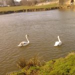 Swans on the river at the bottom of the grounds