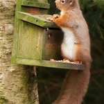 Tufty Squirrel