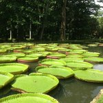 Giant water lilies!