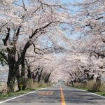 Cherry Blossom Trees along Sotome