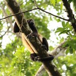 Howler Monkey I saw during the Wild Waterfall hike