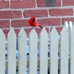 Cardinal @ Scovil Bakery