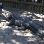 don't forget to visit the Alligator Farm