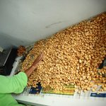 processing room of macademia nuts
