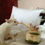 Little KO, My Surrogate Kitten During My Stay... Loves Coconuts as much as I do! ;-)