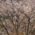 上千本のまだ残っていた桜です