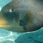 The friendly trigger fish