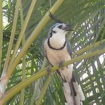 Local bird