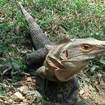 Iguanas are everywhere!  But they wont bother you.