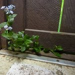 Forget-me-nots growing in an outhouse