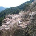 奥の千本(西行庵前)の吉野桜