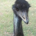 Lovedales curious and friendly Emu