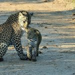 Leopard mother with her cub