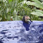 Capuchin by the pool
