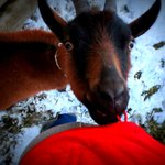 The goats are friendly!
