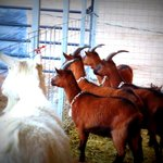 The goats curious about our dogs.