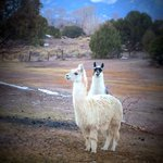 Alpaca and llama and the beautiful backdrop.