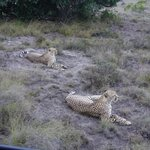 cheetah brothers after a big meal