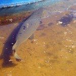 Ein sehr früher Fisch der vom Aussterben bedroht ist
