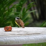 Great kiskadee in gardens.