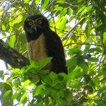 Very Rare Black and White Owl